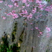 Red bud and Spanish moss