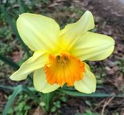 28th Feb 2021 - A glorious daffodil