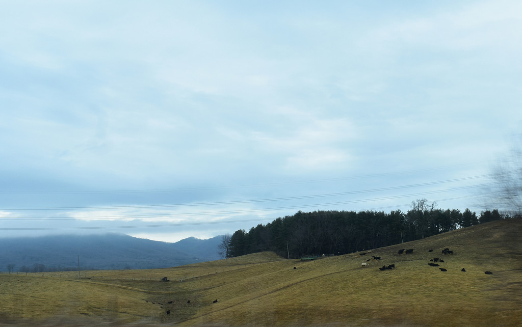 Cattle on a hill by homeschoolmom