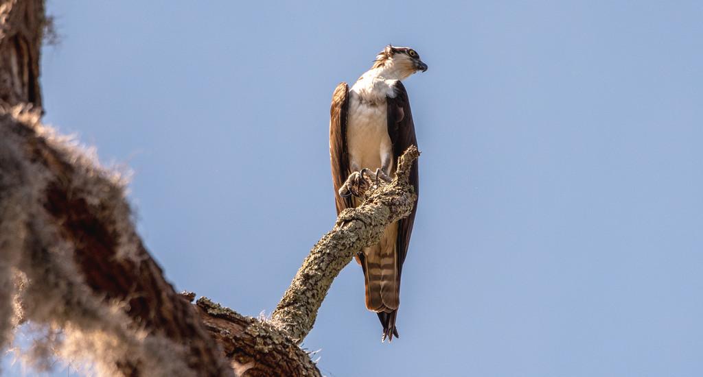 Osprey on It's Perch! by rickster549