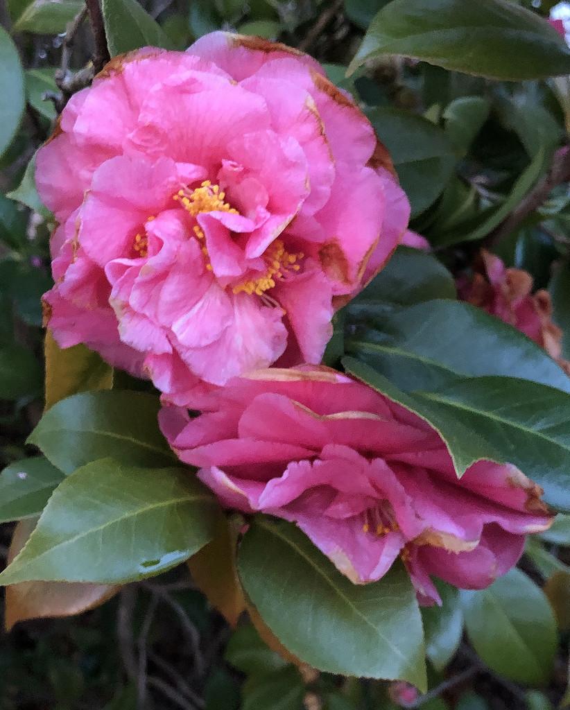 Camellia by homeschoolmom