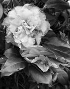 28th Feb 2021 - B&W Camellia