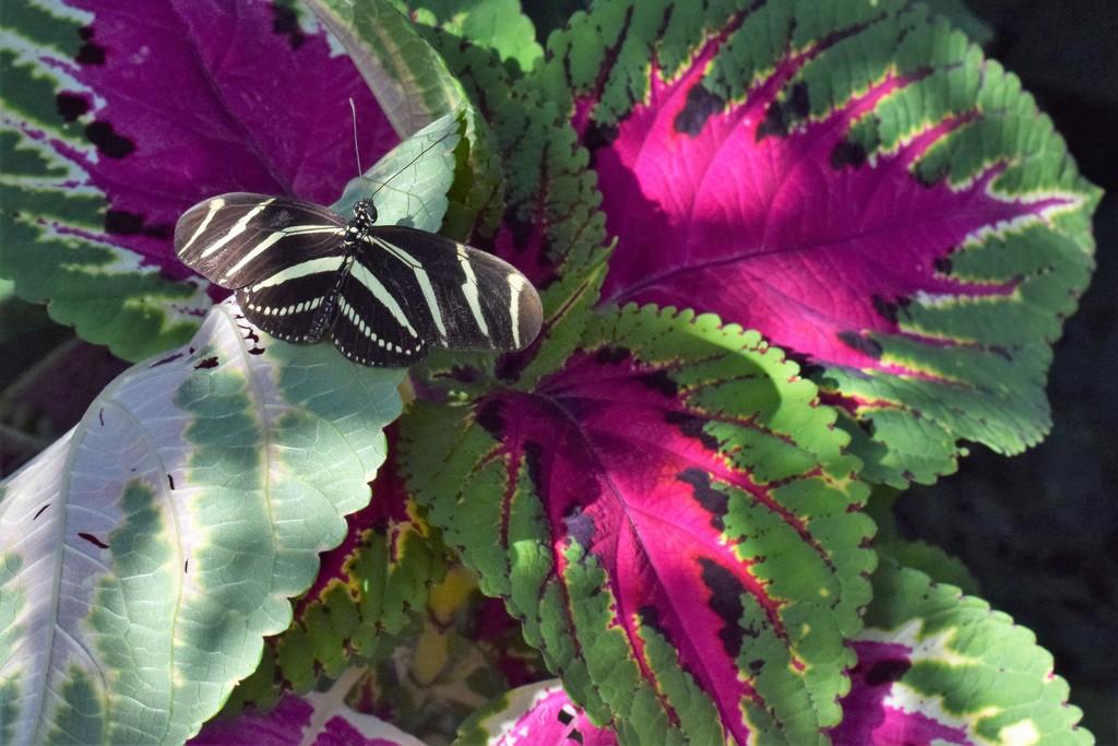 Zebra Longwing Butterfly by sandlily