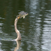 28th Feb 2021 - Anhinga showing off its catch.