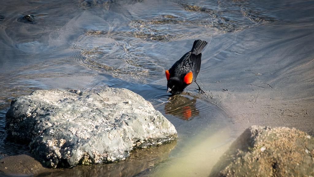 Red-winged Blackbird ready to impress the ladies by nicoleweg