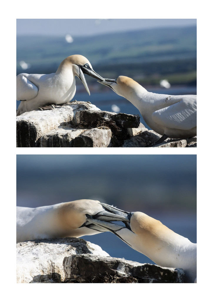 Gannets fighting by pamknowler