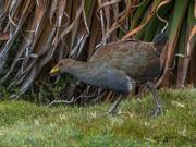 28th Jan 2021 - Tasmanian Native Hen