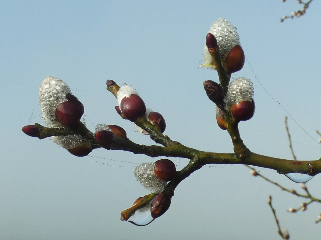 Pussy Willow buds by julienne1
