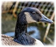 1st Mar 2021 - Canada Goose Profile