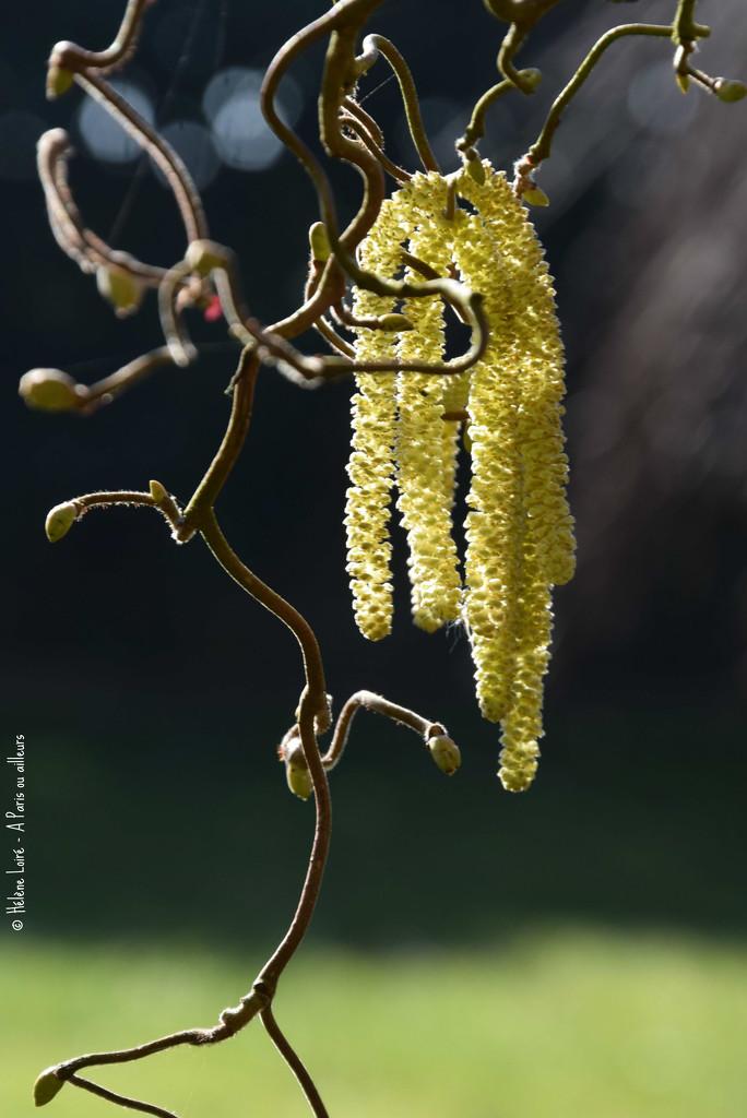 Corylus avellana Contorta by parisouailleurs