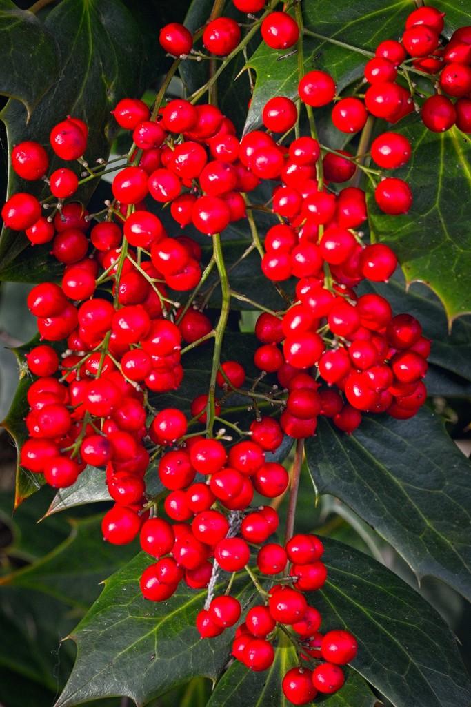 LHG_5541- Red Berries by rontu