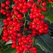 LHG_5541- Red Berries