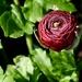 1. Ranunculus