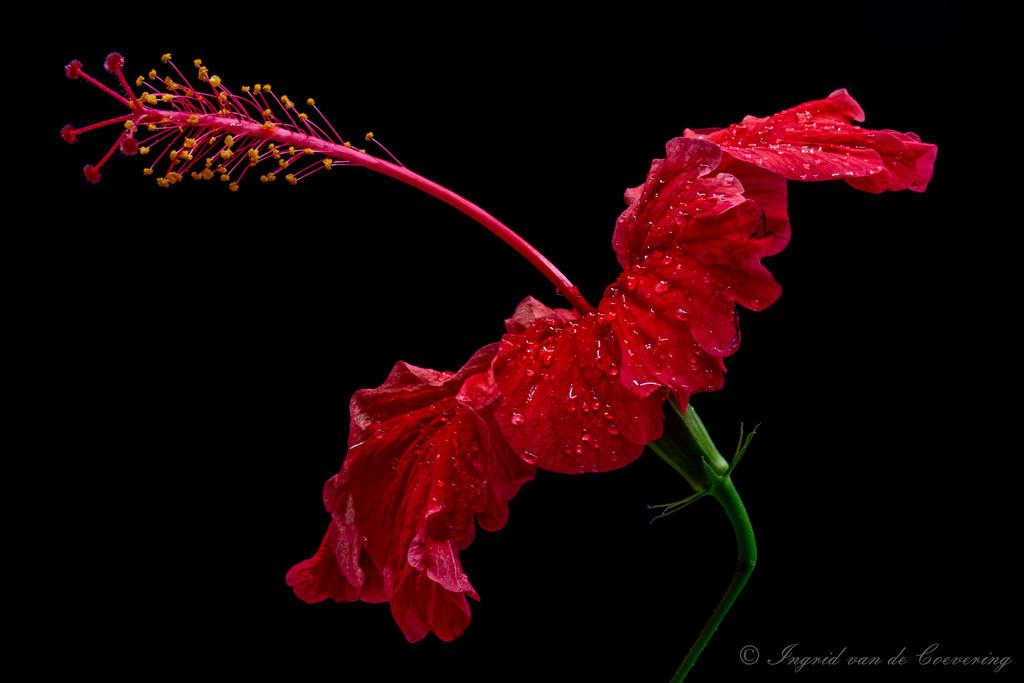 Hibiscus flower by ingrid01