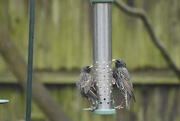 1st Mar 2021 - They like suet pellets too