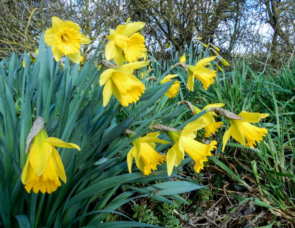 Daffodils for St. David's day by busylady