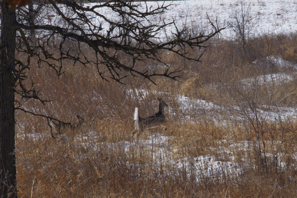 white-tail deer  by rminer
