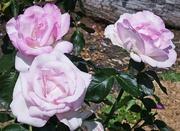 2nd Mar 2021 - Rose Garden