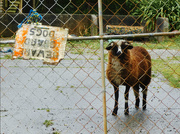 2nd Mar 2021 - Beware! Guard...Sheep!