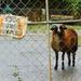 Beware! Guard...Sheep!