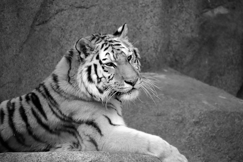 Tiger In Black And White by randy23