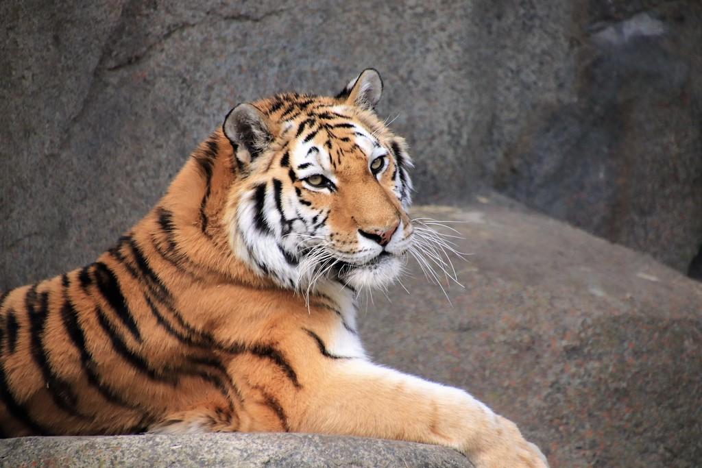 Tiger In Color by randy23