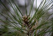 1st Mar 2021 - Southern pine budding...