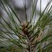 Southern pine budding...