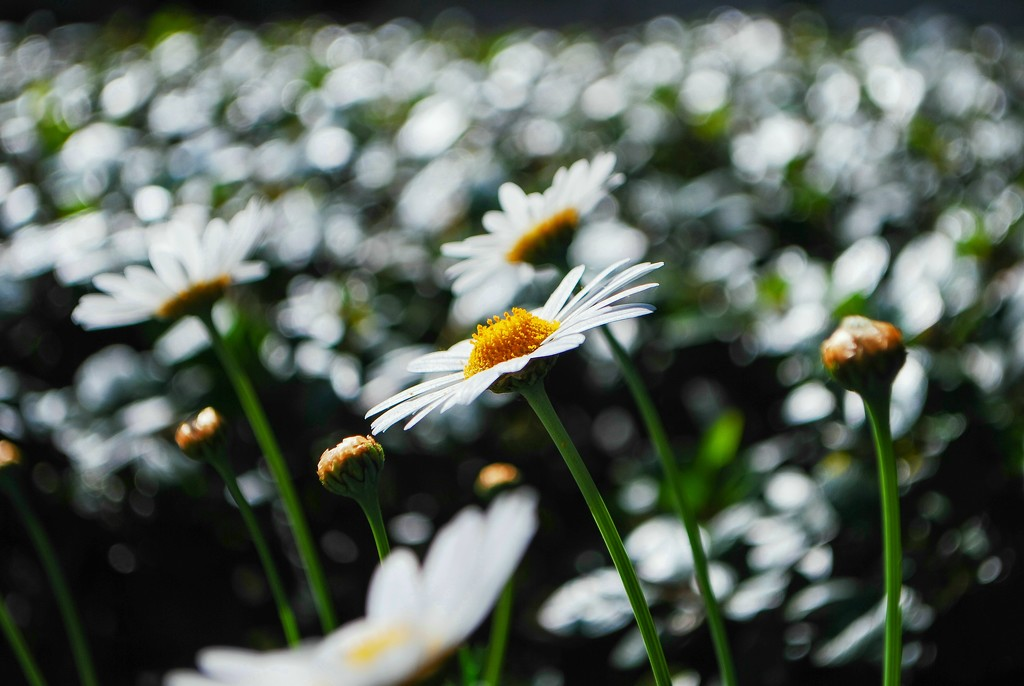Field of Daisies by sherimiya