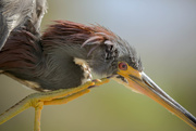 1st Mar 2021 - Tricolored Heron