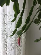 28th Feb 2021 - Christmas cactus gets ready to flower