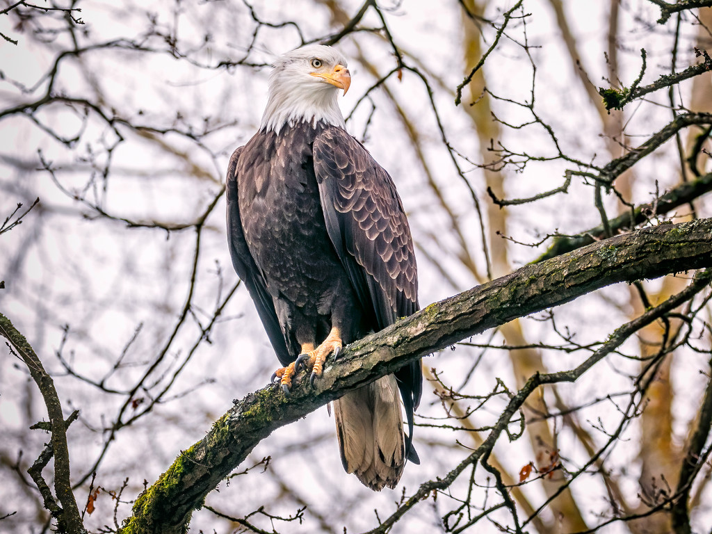 Bald Eagle by cdcook48