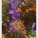 Monarch of the Garden...