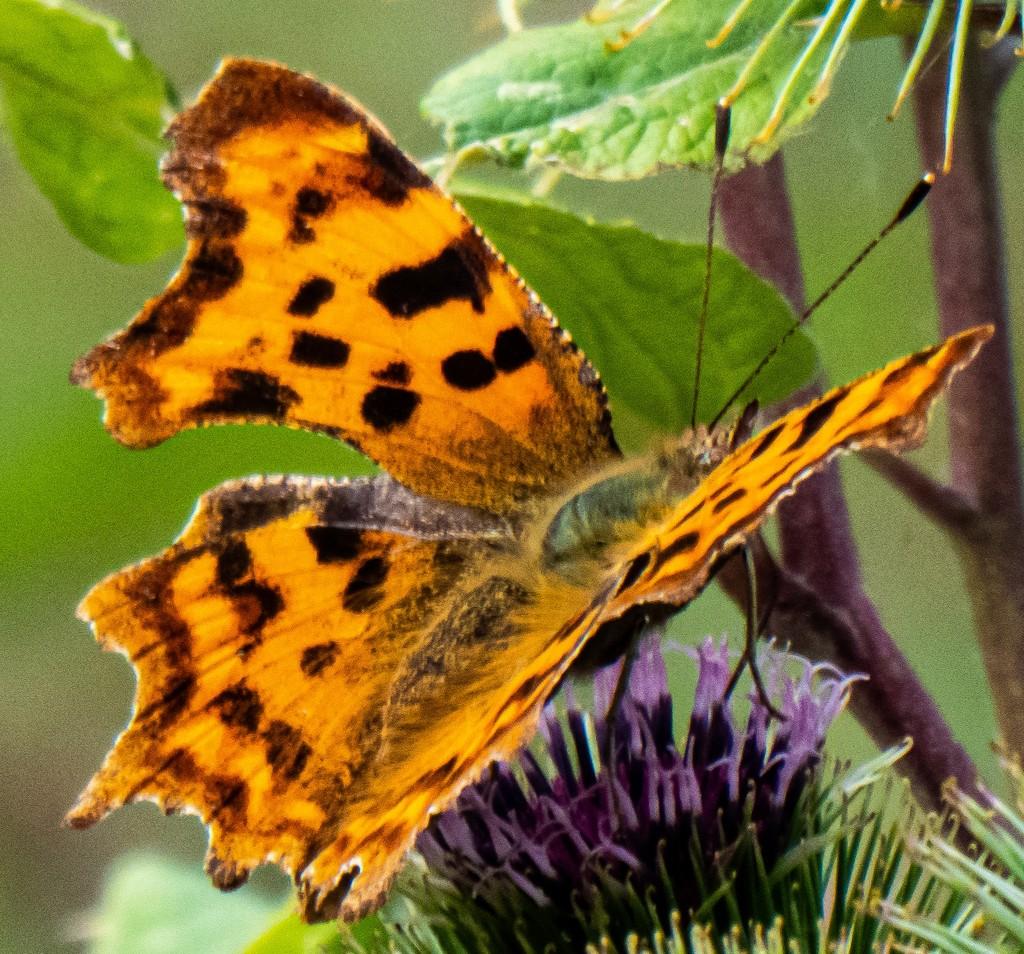 Orange butterfly by mave