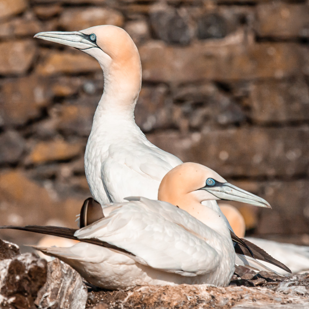 Extras - Gannets on the nest by pamknowler