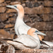 Extras - Gannets on the nest