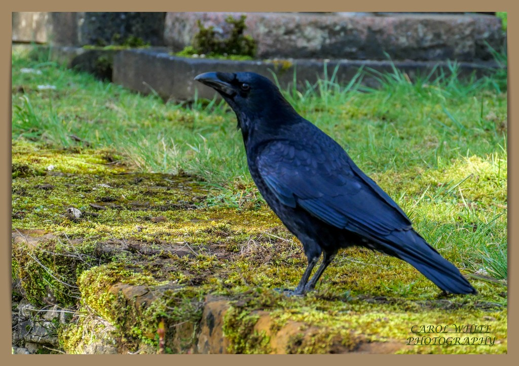 Carrion Crow by carolmw