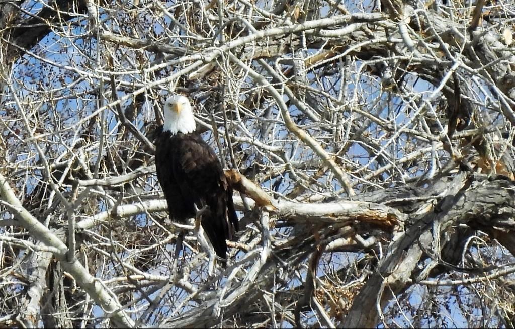 Bald Eagle by janeandcharlie