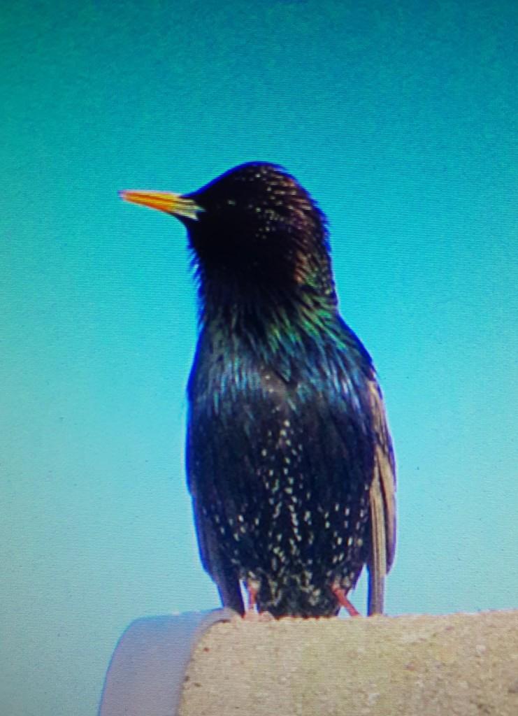 A joyful Starling. by grace55