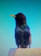 2nd Mar 2021 - A joyful Starling.