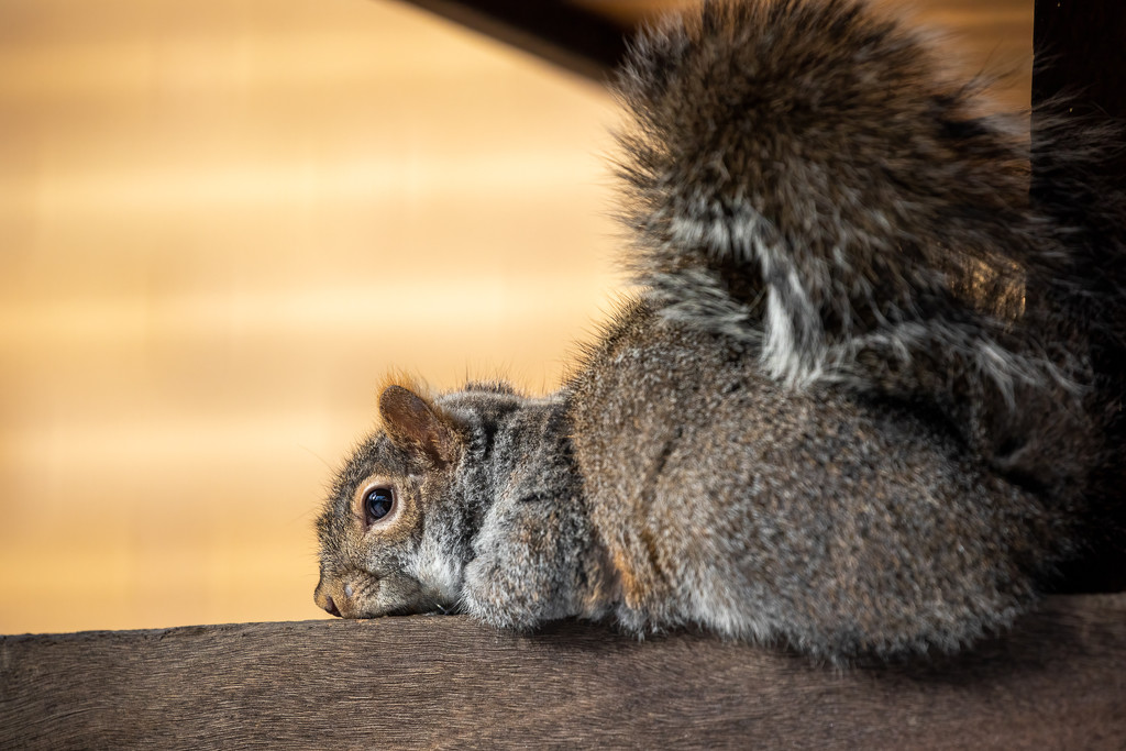 Melancholy Squirrel by jyokota