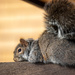Melancholy Squirrel
