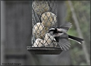 2nd Mar 2021 - Little long tailed tit