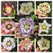 Hellebores - The Full Set