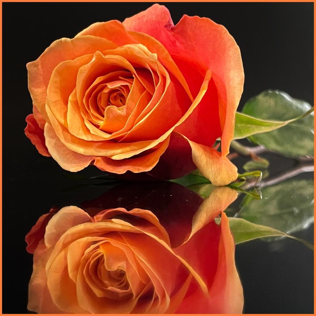 Orange Rose by shutterbug49