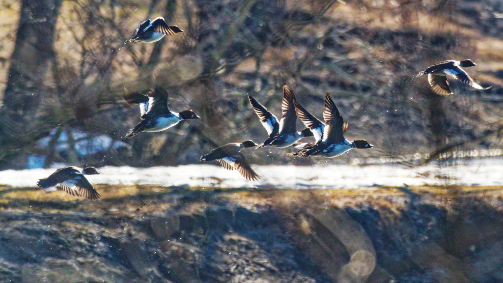 common goldeneyes in flight by rminer
