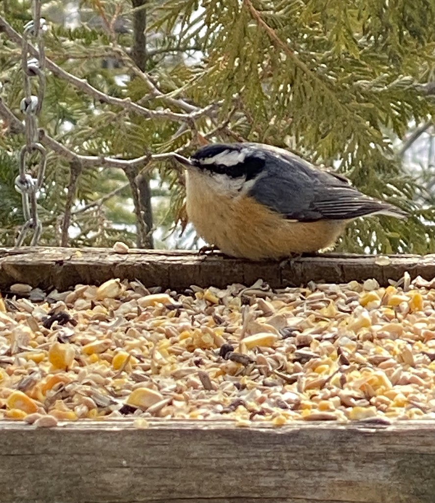 Nuthatch by radiogirl
