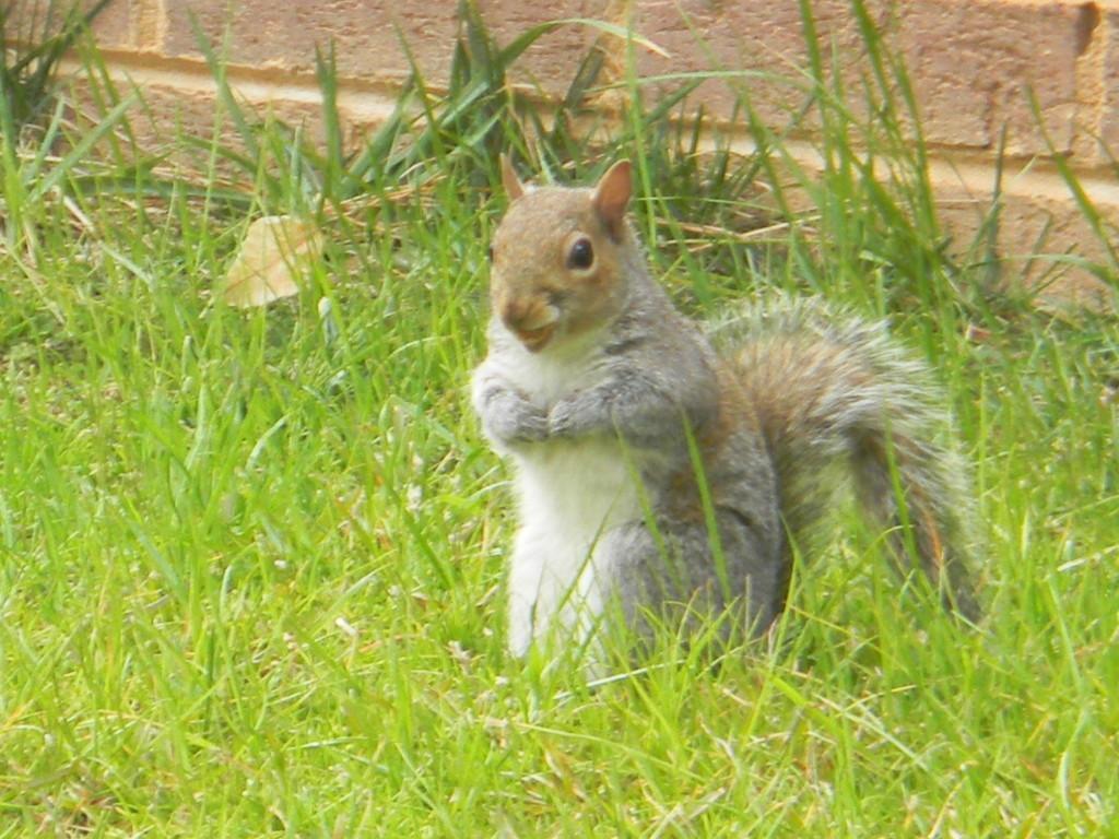 Squirrel in Backyard by sfeldphotos
