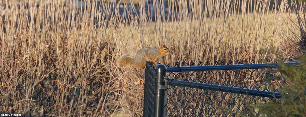 Stubbie the Squirrel by larrysphotos