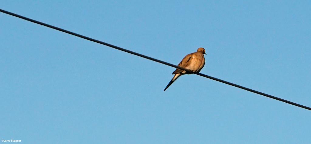 Dove by larrysphotos